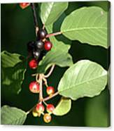 Berry Stages Canvas Print