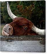 Beware Smiling Bull Canvas Print