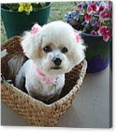 Bichon In A Basket Canvas Print