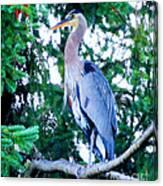 Big Bird - Great Blue Heron Canvas Print