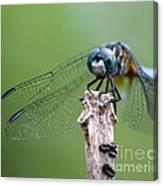 Big Eyes Blue Dragonfly Canvas Print
