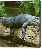Big Gator On A Log Canvas Print