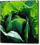 Big Green Cabbage Canvas Print