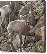 Big Horn Lambs Canvas Print