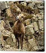 Big Horn On The Rocks Canvas Print