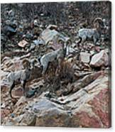 Big Horn Sheep3 Canvas Print