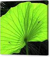 Big Leaf Canvas Print