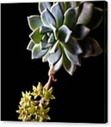 Big Sedum Canvas Print