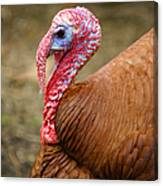 Big Turkey Canvas Print