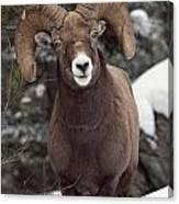 Bighorn Sheep, Maligne Canyon, Jasper Canvas Print