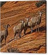 Bighorn Sheep, Zion National Park, Utah Canvas Print