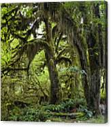 Bigleaf Maple Acer Macrophyllum Canvas Print