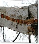 Birch Damaged In Ice Storm Canvas Print