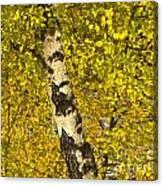 Birch Forest In Finland Canvas Print