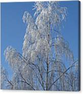 Birch In Frost. Canvas Print