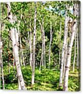 Birch Path Canvas Print