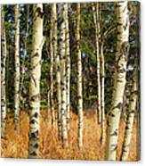 Birch Tree Abstract Canvas Print