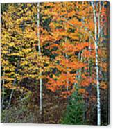 Birch Trees And More Canvas Print