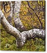 Birch Trees In Autumn Foliage Canvas Print