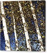 Birch Trees In Fall Canvas Print