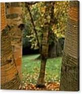 Birches In Autumn Canvas Print