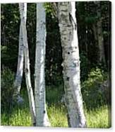 Birches On A Meadow Canvas Print