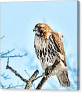 Bird - Red Tail Hawk - Endangered Animal Canvas Print