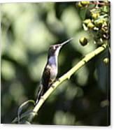 Bird - Hummingbird - The Observer Canvas Print