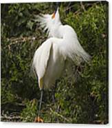 Bird Mating Display - Snowy Egret  Canvas Print