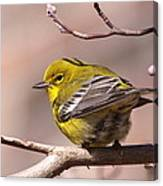 Bird - Pine Warbler - Detail Canvas Print