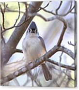 Bird - Tufted Titmouse - Busted Canvas Print