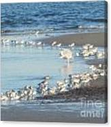 Birds And One Lone Seagull. Canvas Print