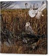 Birds Of Bc - No.14 - Snowy Owl Fly By Canvas Print