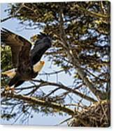 Birds Of Bc - No.27 - Bald Eagle - Haliaeetus Leucocephalus Canvas Print