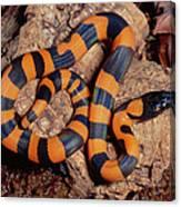 Bismarck Ringed Python Liasis Boa Canvas Print