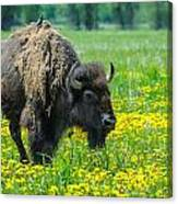Bison And Friend Canvas Print