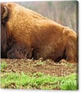 Bison At Rest Canvas Print
