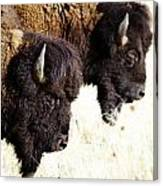 Bison Bison Canvas Print