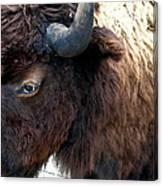 Bison Bison Up Close Canvas Print