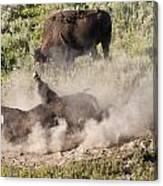 Bison Dust Bath Canvas Print