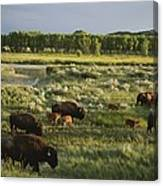 Bison Graze On Grasslands In The Park Canvas Print