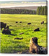 Bison Herd In Yellowstone Canvas Print