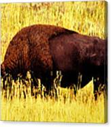 Bison In Field Canvas Print