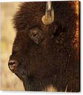 Bison In Profile Canvas Print