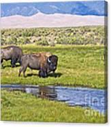 Bison On Big Spring Creek Canvas Print