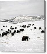 Bison Paw Away Snow With Head Canvas Print