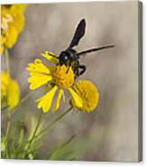 Bitterweed And Black Wasp Canvas Print