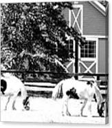 Black And White Clydesdale Grazing Canvas Print