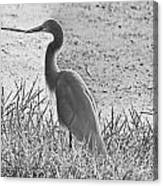 Black And White Egret  Canvas Print