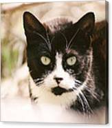 Black And White Feral Cat Canvas Print